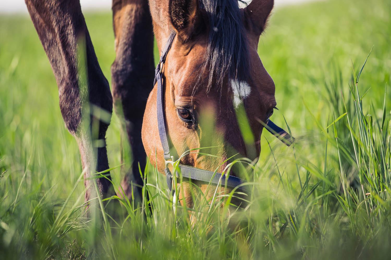 Et nyligt dansk studie viste, at indtaget af græs var en væsentlig risikofaktor for udviklingen af forfangenhed