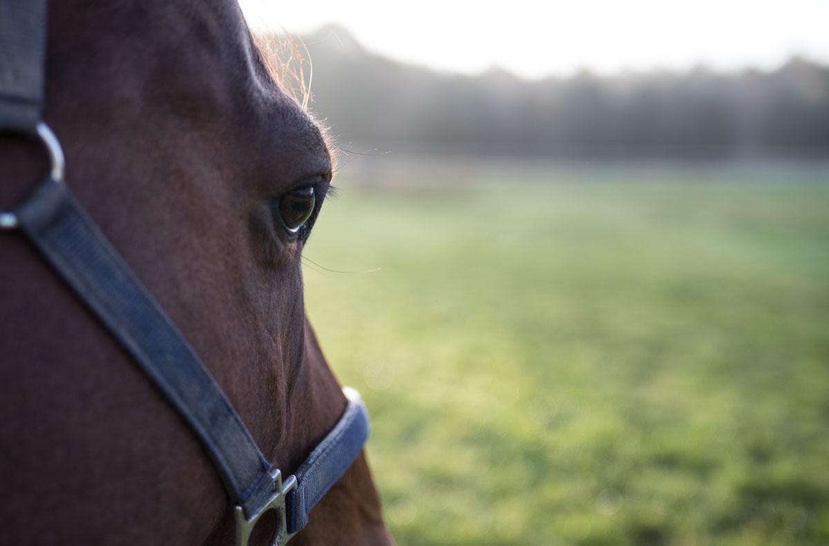 PSSM - Muskelsygdomme hos heste